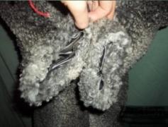 Natural Fur Coat Of A Doodle